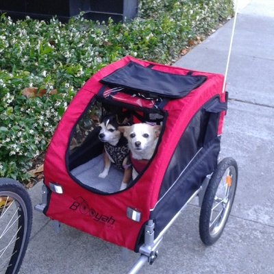 Two chihuahua in Medium Dog Trailer Booyah Strollers