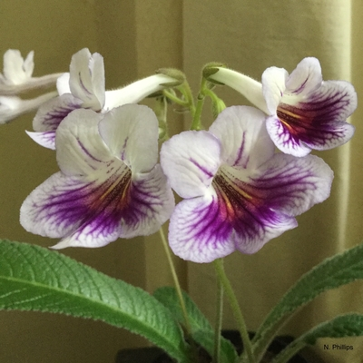 Streptocarpus 'Nerys', photographed by N. Phillips.