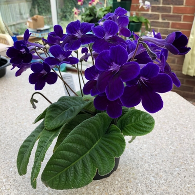 A beautiful plant. Nice and compact with lots of flowers throughout the season. Very reliable.