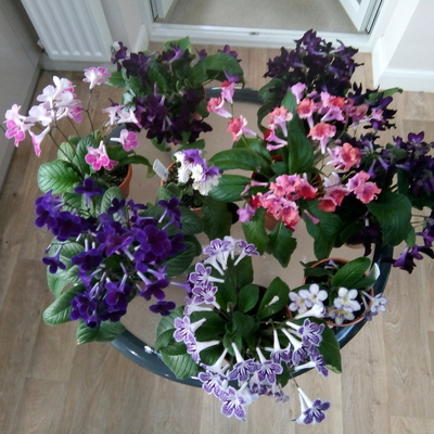 A small collection of my collection of Streptocarpus.  Sue.