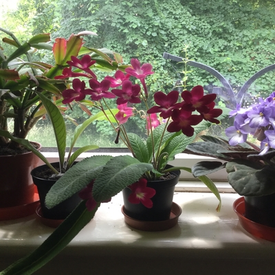 Photo of Streptocarpus 'Texas Hot Chili' on windowsill by N. Phillips